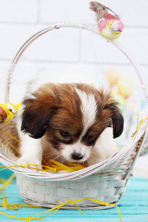 Easter still life, Papillon puppy in a basket photo