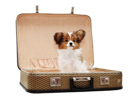 スーツケースは、白い背景で隔離のパピヨン子犬