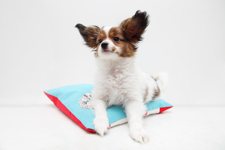 lap dog: Little puppy dog breed papillon lying on a pillow