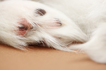 neat: Neat paw of a dog with long hair, close-up