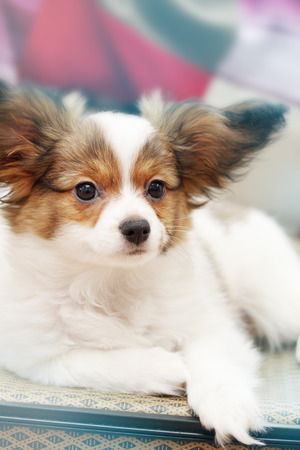 closeup puppy: Portrait Little puppy dog breed papillon, close-up Stock Photo