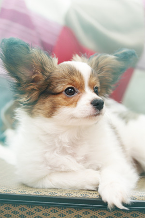 lap: Portrait Little puppy dog breed papillon, close-up Stock Photo
