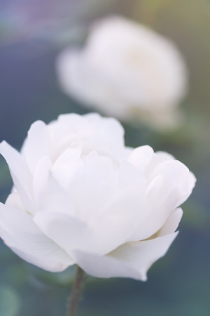 tinted: Beautiful white rose in the garden, close-up, tinted