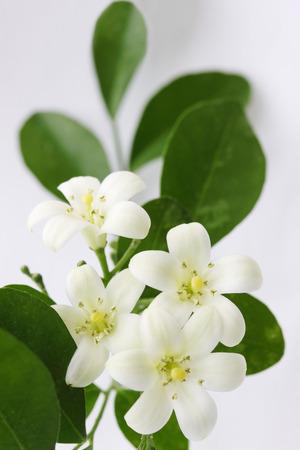 rutaceae: flowers Murraya paniculata of the family Rutaceae Stock Photo