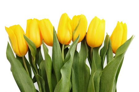 tulipan: Piękny bukiet z żółtych tulipanów na białym tle