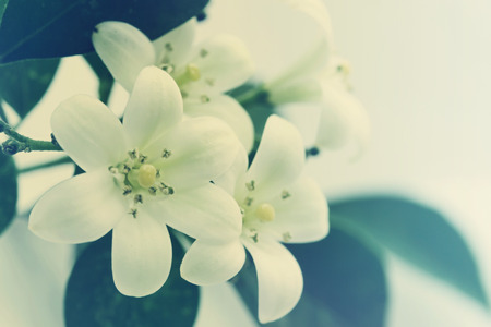 rutaceae: flores Murraya paniculata de la familia Rutaceae