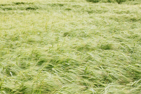 matures: Wheat matures on the field. background