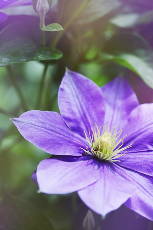clematis flower: Beautiful, large purple clematis flower in the garden Stock Photo