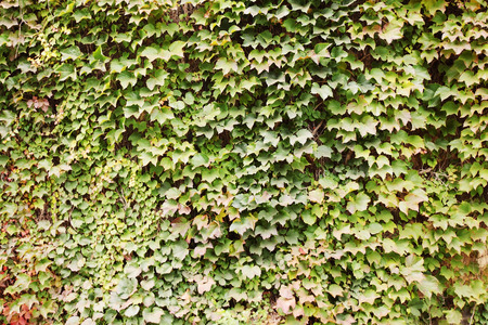 ivy wall: Green background, overgrown with ivy on the wall Stock Photo