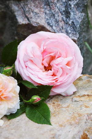 english rose: Beautiful English rose lies on a stone in the garden
