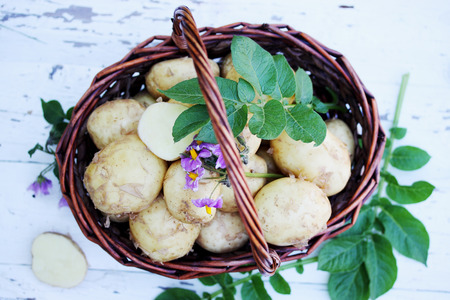 tubers young potatoes with a potato flower Archivio Fotografico