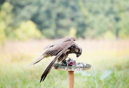 stoop: Peregrine Falcon eating a pigeon. young handsome hawk in nature Stock Photo
