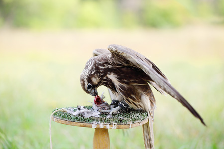 peregrine: Peregrine Falcon eating a pigeon. young handsome hawk in nature Stock Photo