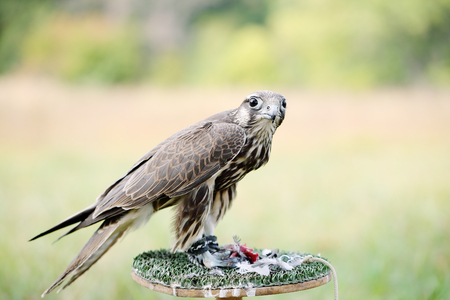 bird eating raptors: Peregrine Falcon eating a pigeon. young handsome hawk in nature Stock Photo