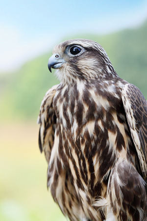 falco peregrinus: Peregrine Falcon. young handsome hawk in nature Stock Photo