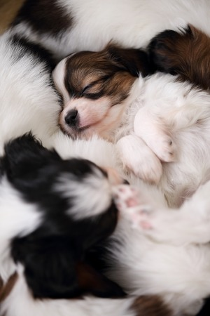 sweetly: small breed puppies Papillon sweetly sleeping on fur Stock Photo