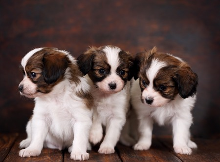 big and small: three Puppys papillon breed on dark background Stock Photo