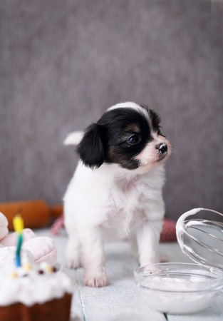 eat smeared: Little Puppy Papillon with a celebratory cake