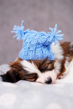 sweetly: small breed puppy Papillon sweetly sleeping on pillow