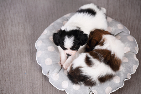 sweetly: small breed puppies Papillon sweetly sleeping on pillow