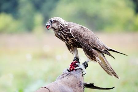 falco peregrinus: Saker Falcon sits on a glove, close-up