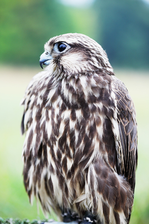 falco peregrinus: Saker Falcon sits on a stand, close-up Stock Photo