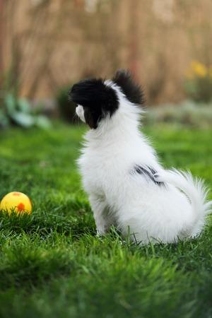 breeds: Puppy breeds Papillon on the green grass