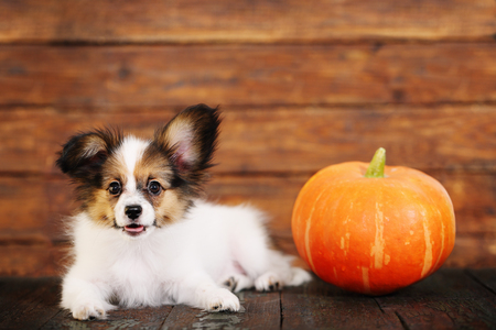 Portrait of a cute little puppy Papillon with pumpkin on a wooden background Stock Photo