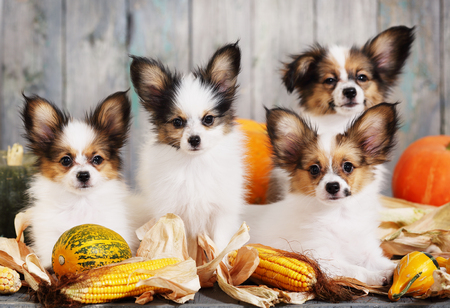 Portraits of Four puppies papillon breed with pumpkins. Halloween