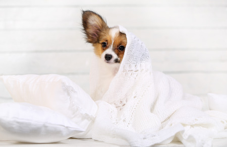 cute puppy Papillon breed lying on pillows Stock Photo