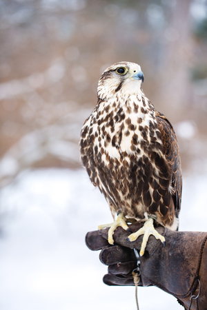 Falcon sits on a gloved hand