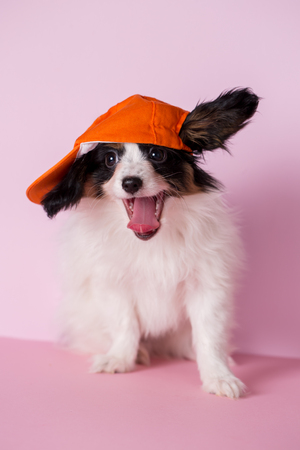 Puppy of papillon breed on a pink background Stock Photo
