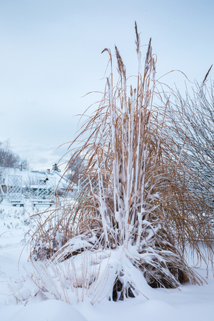 snow-capped Miscanthus tall in the winter garden