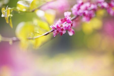 Redbud Tree, close-up
