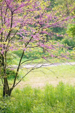 Blooming Redbud Tree