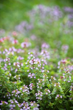 flowering of thyme