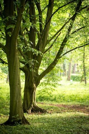 Vintage hornbeam trees in spring park Reklamní fotografie