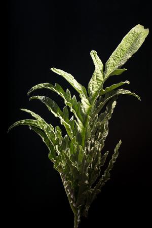 Green leaf artichoke Stock Photo