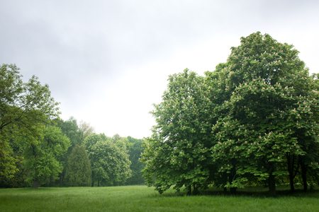 blooming chestnuts in the park Standard-Bild