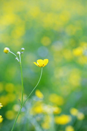 buttercup flower on the background of the field