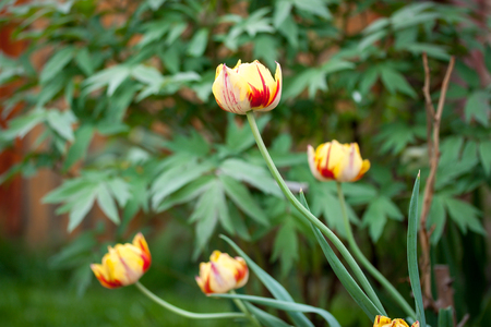 Spring flowering tulip bicolor Stock Photo