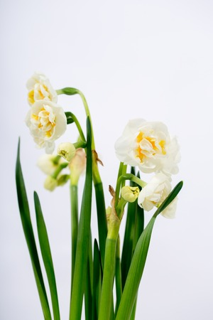 white, terry ornamental daffodils
