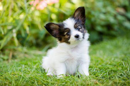 Lindo cachorro de raza papillon sobre pasto verde en el jardín Foto de archivo