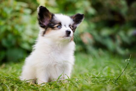 Cute puppy of breed papillon on green grass in the garden
