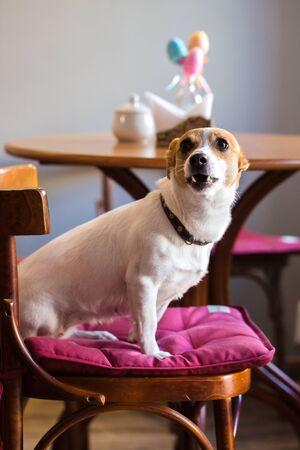 The dog sits on a chair in a cafe