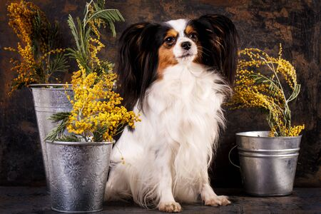 Dog breed papillon with bouquets of mimosa on a dark background
