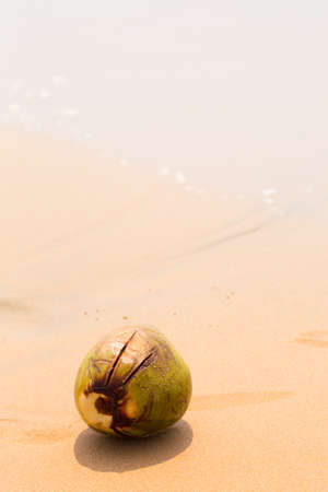 Big royal coconut on golden sand by the ocean, summer background Archivio Fotografico