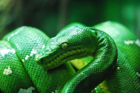 Green Snake Imagens
