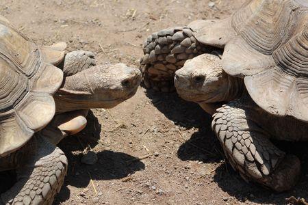 ancient turtles: Two Turtles Meeting
