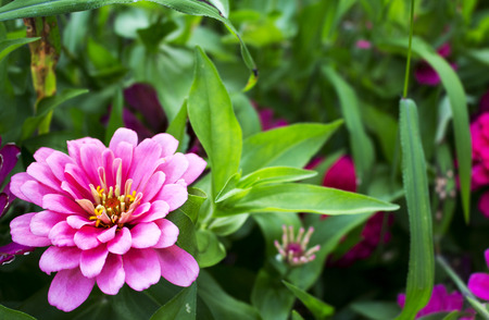 Background of baby pink zinnia flower in the garden photo